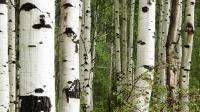 """Glasnische BIR Motiv """"Birch Forrest"""""""